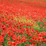 field-of-poppies.jpg